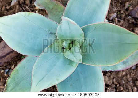 Succulent plant with green leaves to be used for medicine and skincare
