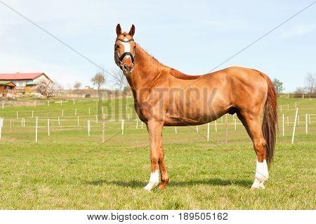 Purebred chestnut standing on pasturage stallion. Exterior image. Summertime outdoors.