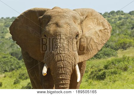 close up portrait of an african elephant in the morning sun