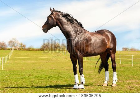 Purebred stallion in bandages standing on pasturage. Multicolored exterior image. Summertime outdoors.