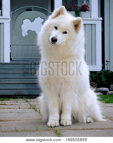 White Samoyed dog sits in front of a house and smiles at the camera.