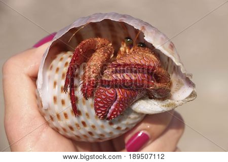 Сrab in the shell in woman hand.