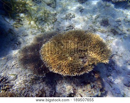 Small table coral in tropical sea in Indonesia