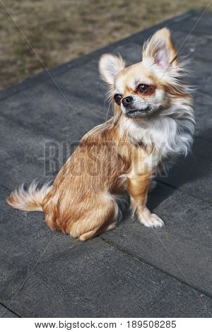 The Chihuahua is recognized as the smallest lapdogs in the world