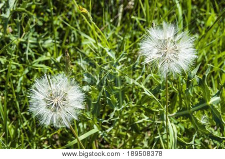 Devil feather, natural devil feather plant, devil feather pollen plant