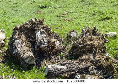 Big tree roots, large roots of cut trees, tree root pictures