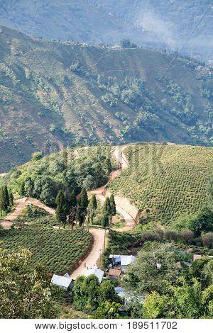 Tea plantations grown on Darjeeling slopes, India
