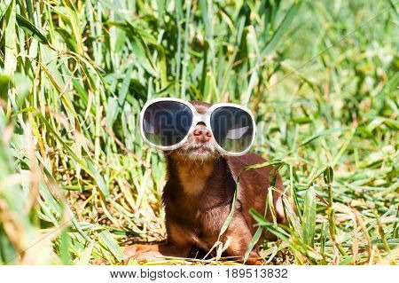 Spy waiting in ambush. Small dog-brown toy-terrier in white fashionable glasses lying in green wheat field in ambush. Outdoors colored summertime horizontal image. poster