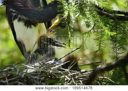 A Heron nest with two chicks feeding