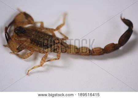 Scorpion :A small venomous scorpion ,Centruroides vittatus
