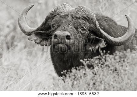 Black and white photo of a large buffalo watch through some dry grass