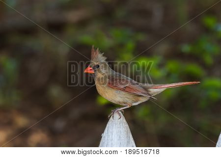 Female Northern Cardinal perched on a white picket fence