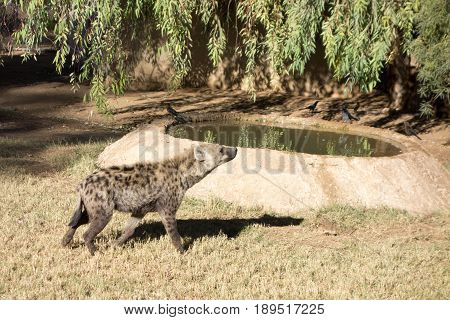Large African Spotted Hyena sniffing around for food