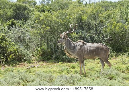 Kudu antelope walking through short grass next to a thick forest