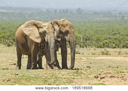 African elephants walking on an open savannah towards a water hole
