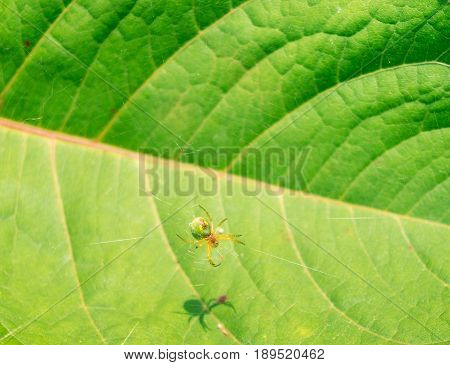View on a little Green Spider in a Web. Close-up of a Spider in Sunlight. A Spider in Web is hanging above a Leaf.