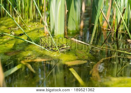 View on a little Frog. Close-up of a green Frog in a Pond. Common Frog. A Frog is sitting in a Lake.