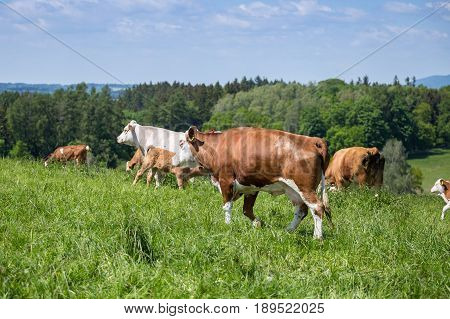 A herd of cows with calves and bulls grazing on the pasture. Nature fauna and flora.