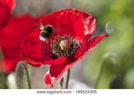 Bumble bee hovering against a vibrant red poppy