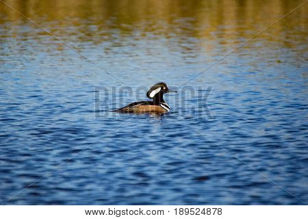 A Hooded Merganser Drake floats calmly on the waters in Chichaqua Bottoms Greenbelt.  His crest is not fully raised which lends a striped look to his head.