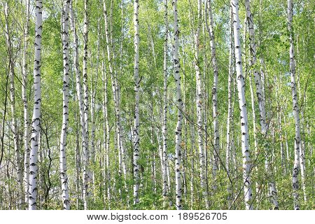 Beautiful summer landscape with birches in forest