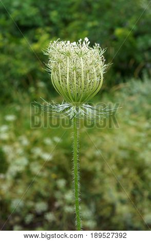 Blooming Hemlock or Poison Hemlock (Conium maculatum) in a meadow with shallow depth of field