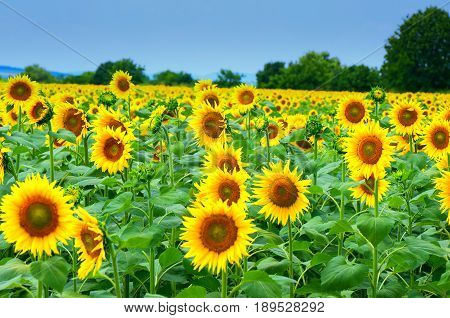 Field with sunflowers. Raw materials for the food industry.Used for the production of vegetable oil, margarine, mayonnaise, polish and soap.