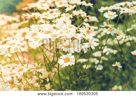 View on Field full of beautiful Daisy Flowers. Close-up of blooming Daisies in Sunlight. Garden Flowers. Growing Flowers on a Field