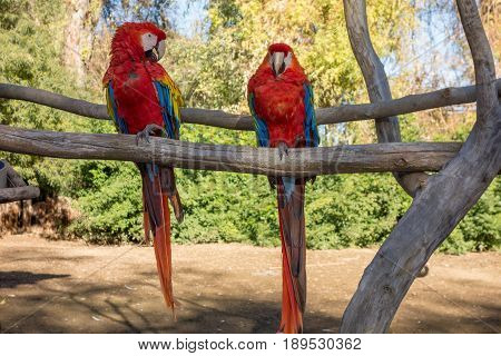 Lovely couple of Scarlet Macaw having conversation with each other