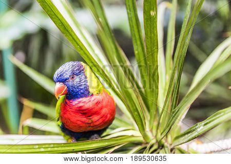 Rainbow lorikeet (Trichoglossus haematodus) is a common parrot of Australia