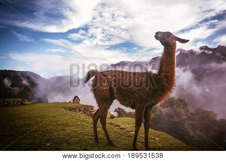 Alpaca in Machu Picchu Peru, South America