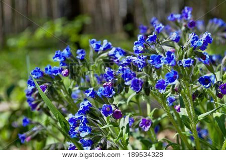 The bright blue of the forest flowers filled the glade with thick thickets.