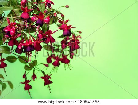 Blooming Hanging Branch In Shades Of Dark Red Fuchsia On Green Background, Huets Kwarts, Copy Space