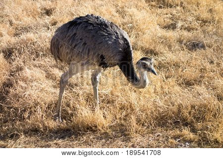 Common Rhea the largest bird in America relative of Australian ostrich