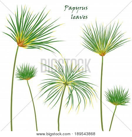Set tropical palm papyrus leaves. realistic drawing in flat color style. isolated on white background. Vector illustration