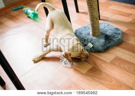 A puppy of a Labrador retriever and a golden retriever plays at home. Concept dog in the apartment.