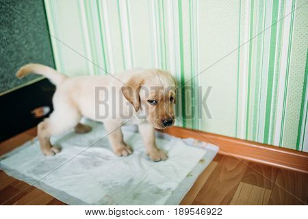 A puppy of a Labrador retriever and a golden retriever goes to the toilet on a diaper. Concept toilet for puppies in the apartment.