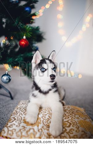 Puppy Siberian husky with blue eyes on the background of a Christmas tree. A man's concept of a friend, a gift for the new year and Christmas.