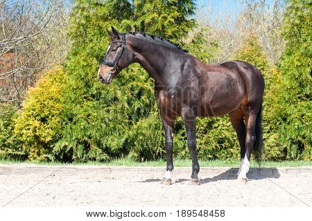 Braided purebred standing on pasturage stallion. Multicolored exterior image. Summertime outdoors.