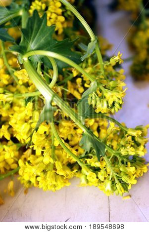 A closeup of some freshly picked Yellow Rocketcress Barbarea Vulgaris belonging to the mustard family of herbs.