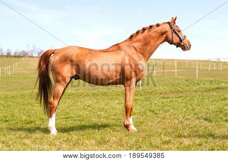 Purebred braided chestnut stallion standing on pasturage. Exterior image with side view. Summertime outdoors.