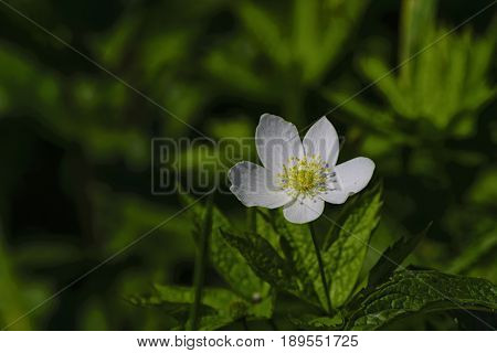 A bright sunny day in a white flower is a small yellow stamen.