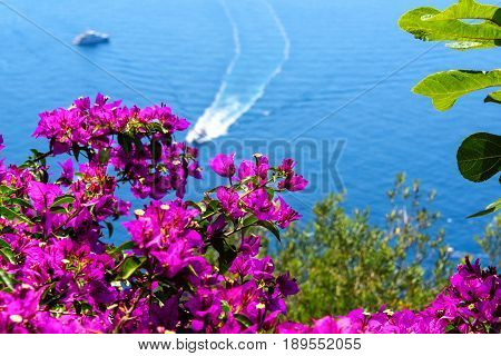 Blooming bougainvillea bush with soft background of boats off the Amalfi Coastline in Italy.