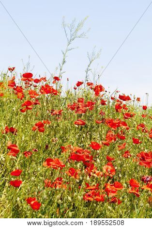 Red Poppies on the Meadow in Summer