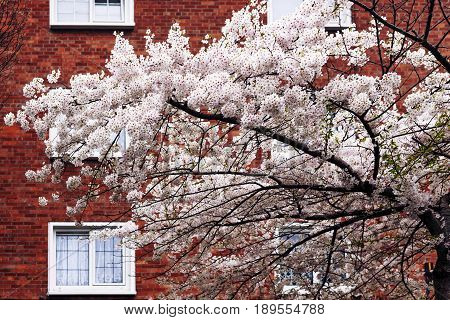 Spring Blossom Tree In Front Of House Facade In Dublin