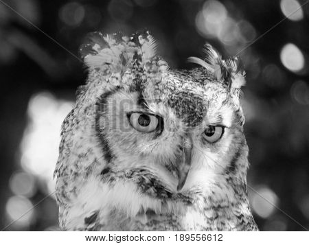 long eared owl portrait close up of face