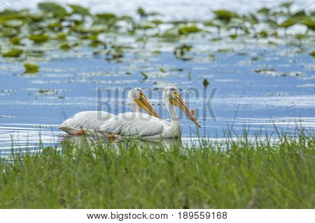 Two white pelicans swim in Hauser Lake in north Idaho.