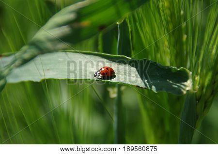 Red Ladybird insect on green trifle leaf among grass leaves