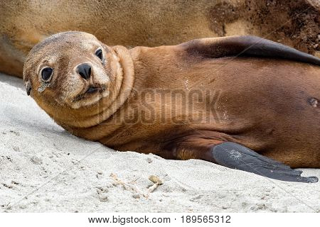 Newborn Australian Sea Lion On Sandy Beach Background