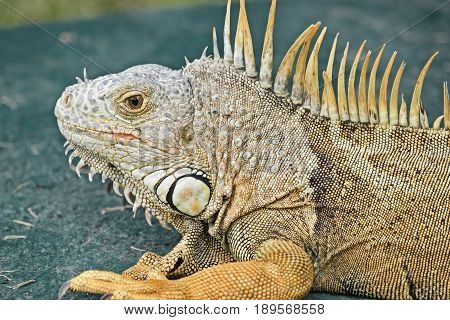 A close-up image of a wild green iguana that is resting on a green background.